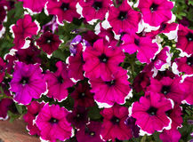 Bush van petunia Stock Foto