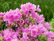Bush van rododendron Royalty-vrije Stock Foto's