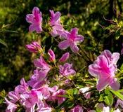 Bush van Rododendronbloemen in het park royalty-vrije stock afbeeldingen