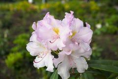 Bush van roze bloemen Royalty-vrije Stock Afbeelding