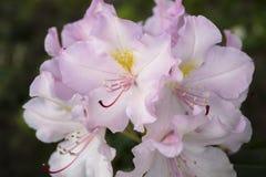 Bush van roze bloemen Stock Afbeeldingen