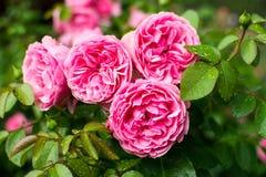 Bush van roze rozen met dalingen van dauw Royalty-vrije Stock Afbeelding