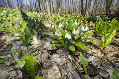 Bush van sneeuwklokjes in bos in de lentedag Royalty-vrije Stock Afbeelding