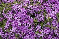 Bush van violette bloemen Stock Foto