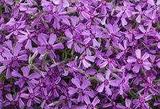 Bush van violette bloemen Royalty-vrije Stock Foto's