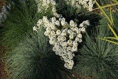 Bush van witte bloemen Royalty-vrije Stock Afbeeldingen