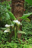 Bush van Witte Calla lelie bloeit voor een Grote Boom in de Tuin, Amazonas-Gebied, Noordelijk Peru royalty-vrije stock fotografie