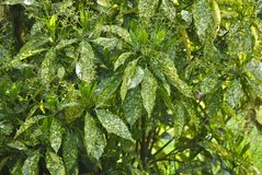 Bush with variegated leaves Royalty Free Stock Photos
