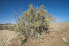 Bush vegetation on sand dune in desert Royalty Free Stock Photos