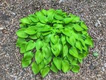 Bush verde das folhas dadas forma coração fotos de stock