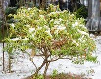Bush verde debajo de la nieve Imagen de archivo