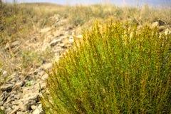 Bush verde entre rochas Fotografia de Stock Royalty Free