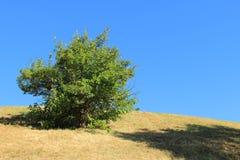 Bush verde só no monte inoperante secado da grama Fotos de Stock