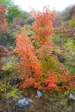 Bush vermelho Foto de Stock