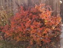 Bush vermelho Fotos de Stock Royalty Free