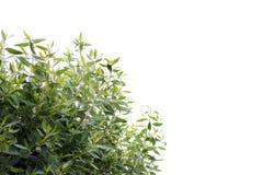 Bush vert, feuilles de vert d'isolement sur le fond blanc photo stock