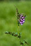 Bush Vetch Stock Image
