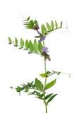 Bush vetch (Vicia sepium) Royalty Free Stock Photography