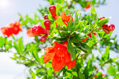 Bush of vibrant pomegranate spring blossom Royalty Free Stock Photo