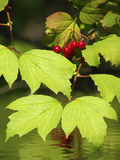 Bush viburnum Stock Photography