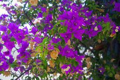 Bush with violet flowers and dry leaves royalty free stock image