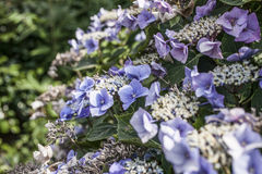 A bush of violet flowers. This image shows a bush of violet flowers with some dark green leaves around them royalty free stock photography