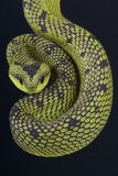 Bush viper / Atheris nitschei Royalty Free Stock Photo