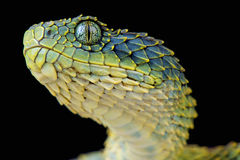 Bush viper / Atheris squamigera Royalty Free Stock Photography
