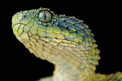 Bush viper / Atheris squamigera royalty free stock photography