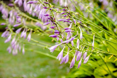 Bush von Blumen Hosta Lizenzfreies Stockbild
