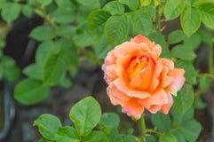 Bush von orange Rosen Stockbilder