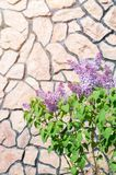 Bush von purpurroten Fliedern gegen den Hintergrund einer Steinwand Lizenzfreies Stockfoto