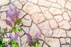 Bush von purpurroten Fliedern gegen den Hintergrund einer Steinwand Stockbild