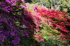 Bush von Rhododendren und von Azaleen Stockbild