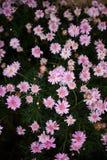 Bush von rosa und purpurroten Blumen Stockbild