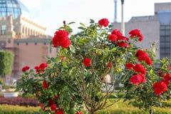 Bush von roten Rosen auf dem Hintergrund von Gebäuden Schöne Rosennahaufnahme mit grünen Blättern auf einem hohen Stiel lizenzfreie stockfotos