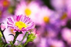 Bush von violetten Blumen Stockbilder