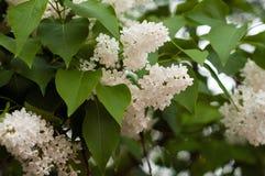 Bush von weißem lila SyrÃnga auf einem natürlichen Hintergrund lizenzfreies stockbild