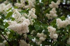 Bush von weißem lila SyrÃnga auf einem natürlichen Hintergrund lizenzfreies stockfoto