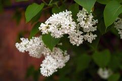Bush von weißem lila SyrÃnga auf einem natürlichen Hintergrund lizenzfreie stockfotos