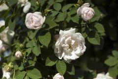 Bush von weißen Rosen blüht im Hintergrund eines blauen Himmels mit Wolken stockbild