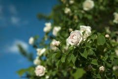 Bush von weißen Rosen blüht im Hintergrund eines blauen Himmels mit Wolken lizenzfreie stockfotos