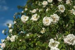 Bush von weißen Rosen blüht im Hintergrund eines blauen Himmels mit Wolken lizenzfreie stockfotografie