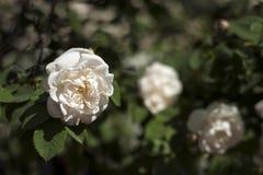 Bush von weißen Rosen blüht im Hintergrund eines blauen Himmels mit Wolken lizenzfreies stockbild