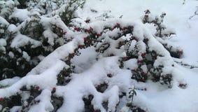 Bush w śniegu Obraz Royalty Free