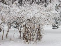 Bush w parku zakrywającym z śniegiem, zimy scena zdjęcia royalty free