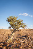 Bush w Pustynnym pobliskim Rybim Rzecznym jarze, Namibia Zdjęcie Royalty Free