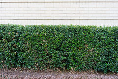 Bush and wall Royalty Free Stock Images
