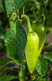 Bush wet green pepper Stock Photo