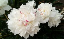 Bush of white air peonies royalty free stock images
